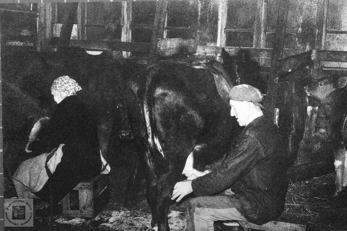 Melking på gamlemåten med hånd. Golevik Grindheim.