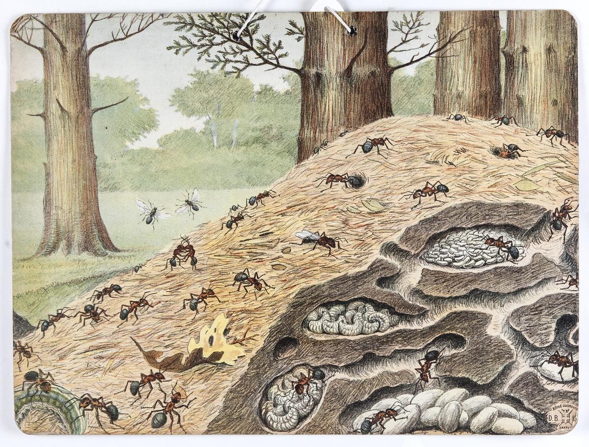 Skoleplansje, naturfag. Illustrert på begge sider, forestiller maur og apeflokk (Nr. 161).