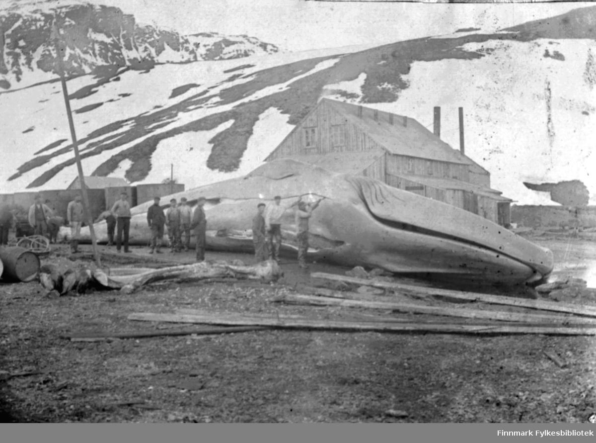 Norske hvalfangere i Sør-Georgia, antakelig Grytviken, ca. 1900