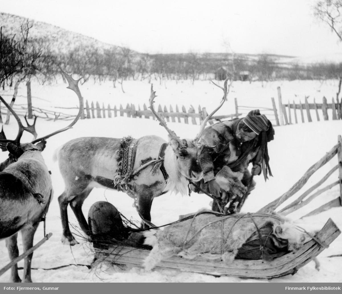 En same med to kjørerein med sleder, fotografert på Jergul i påsken 1947. Personen er ukjent.