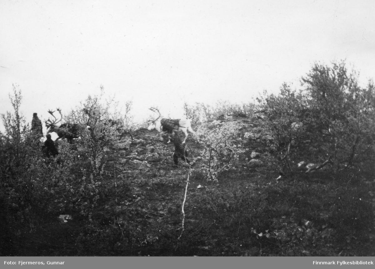 Tre personer og tre reinsdyr fotografert i en skråning med litt trær og busker. Sted og personer er ukjent.
