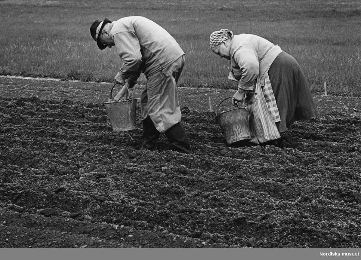 Äldre par sätter potatis på åker. Förlaga till frimärke utgivet i samband med Nordiska museets 100-årsjubileum 1973.