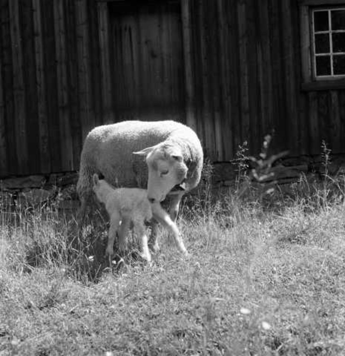 Sau med nyfødt lam, 1956.