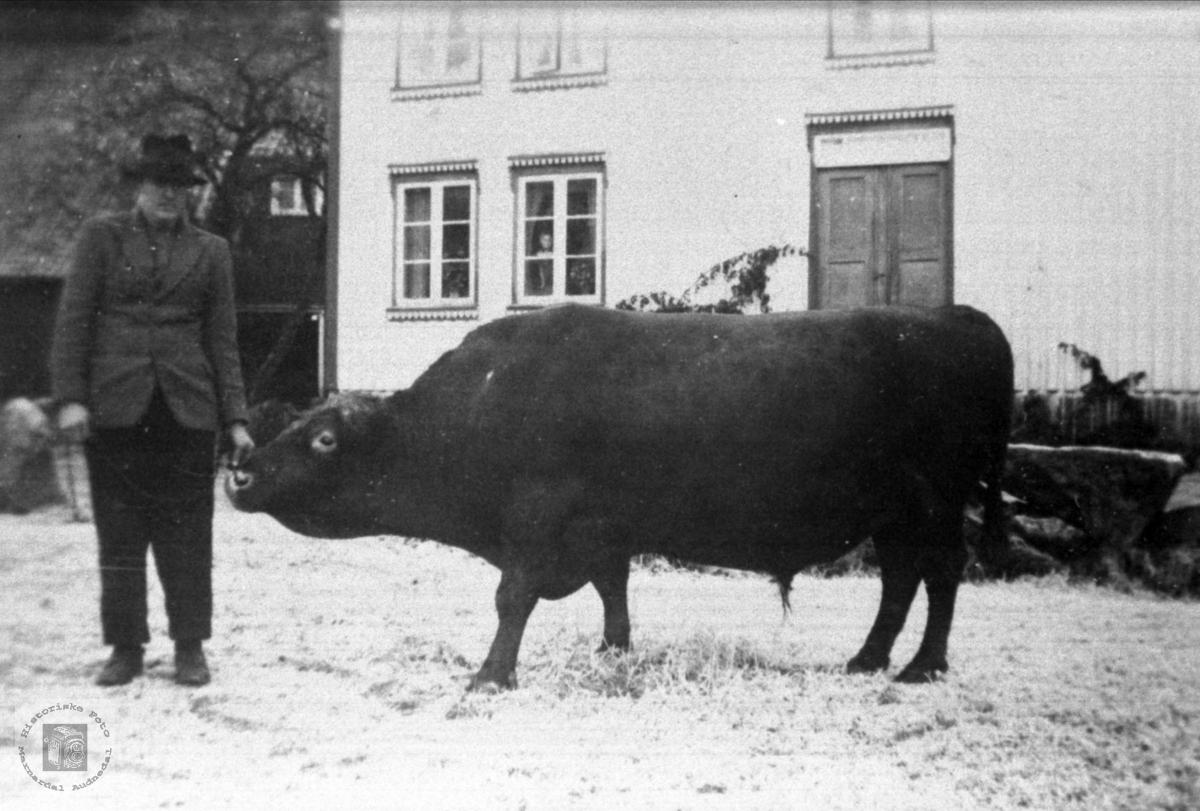 """Oksen """"Truman"""" og Håkon Kylland"""