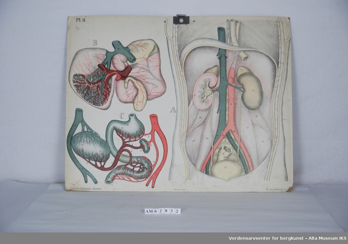 Skjelett, muskler, innvoller. Mennesklig anatomi