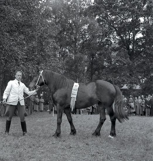 Hästar, 1942. Hästpremiering, pristagarna.En man i i ljus jacka, ridbyxor och stövlar håller i en ridhäst.