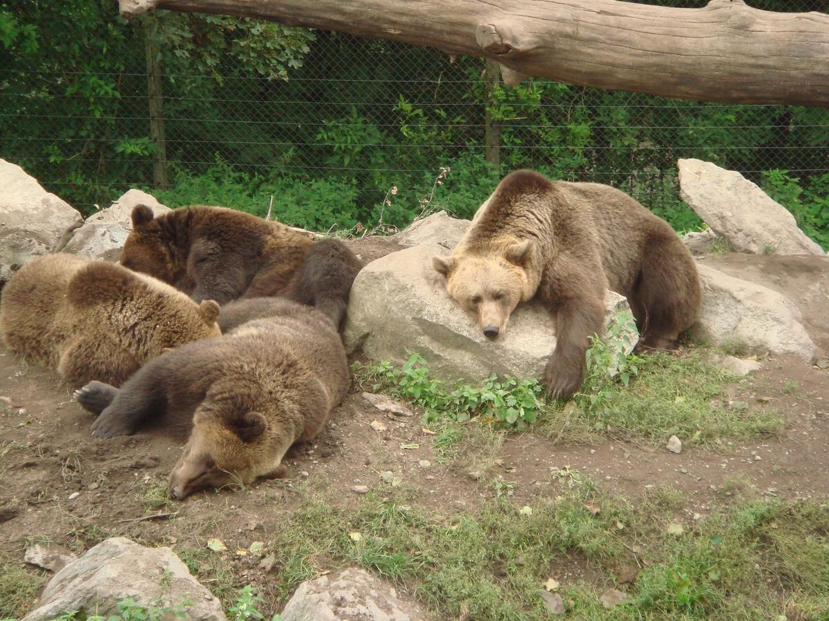 Fyra björnar som sover.