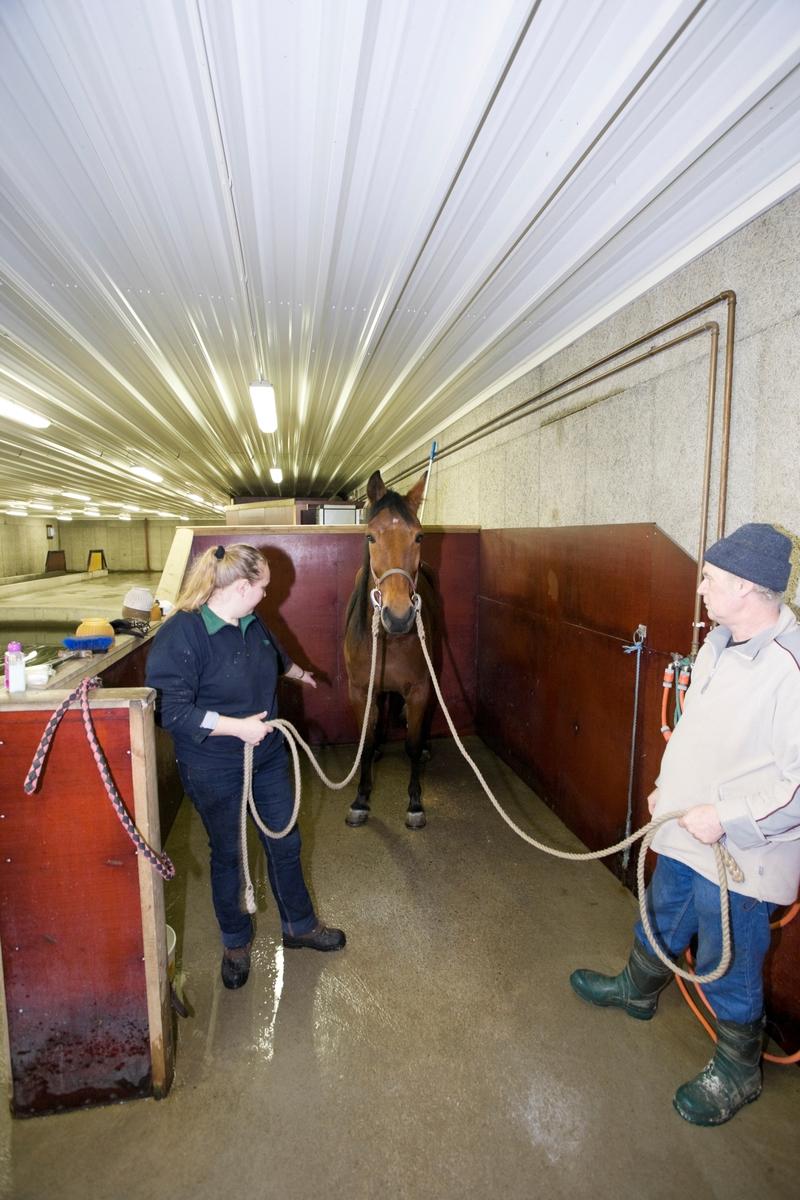Svømme- og rehabiliteringssenter for hest. Hest venter før svømmetur i svømmebasseng.