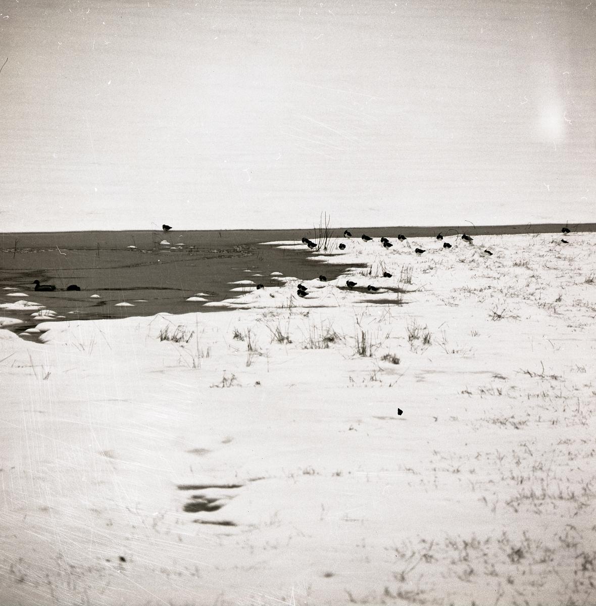 En flock med vipor står intill en strandkant, 1971.