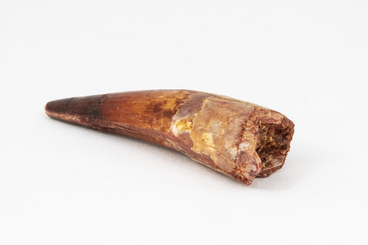 Ett fossil av en tand av dinosaurien Spinosaurus aegypiacus.  Dinosaurien levde under kritaperioden som är ca 97 miljoner år sedan. Fossilet är hittat i Teganaformationen i Kem Kem i Marocko.