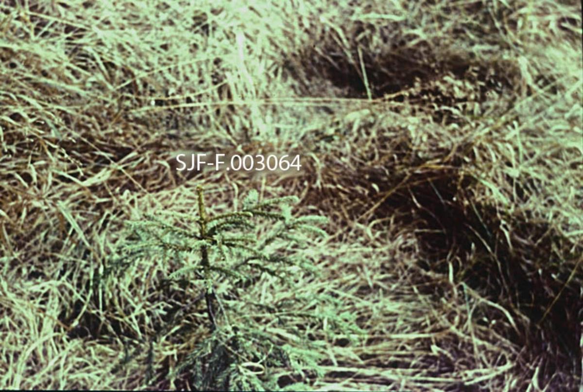 """Lita granplante på areal der den øvrige markvegetasjonen var dominert av en mjuk grasart.  Graset bidro til at grana fikk for lite lys, og til at den fikk sterk konkurranse om vann og mineralnæring fra jorda.  Sjansen for at slike planter skulle overleve og utvikle seg til tømmerskog kunne bedres atskille ved å befri dem fra noe av det """"kvelende"""" graset, hvilket var gjort før dette fotografiet ble tatt.  SJF-F.. 003063 viser situasjonen for granplanta før graset ble ryddet, da bare toppskuddet stakk opp fra den øvrige vegetasjonen.   I tekstheftet til denne bildeserien om «Bekjempelse av lauvkratt og ugras» (1963) har fagkonsulentene Kåre Lund Høie og Arne Lindseth skrevet følgende om dette motivet:  «23.  Etter grasrydding.  Det er svært viktig at graset ikke får anledning til å legge seg over granplantene om høsten.  For å unngå det, bør vi hver høst rydde rundt hver plante.  Det er da tilstrekkelig bare å bøye graset vekk fra plantene.  Da grasstråene er nokså skjøre på dette tidspunkt, kan vi bruke en kjepp eller lignende til dette.  På denne måte unngår vi å skade planene, samtidig som at ryddingen blir relativt billig.»"""