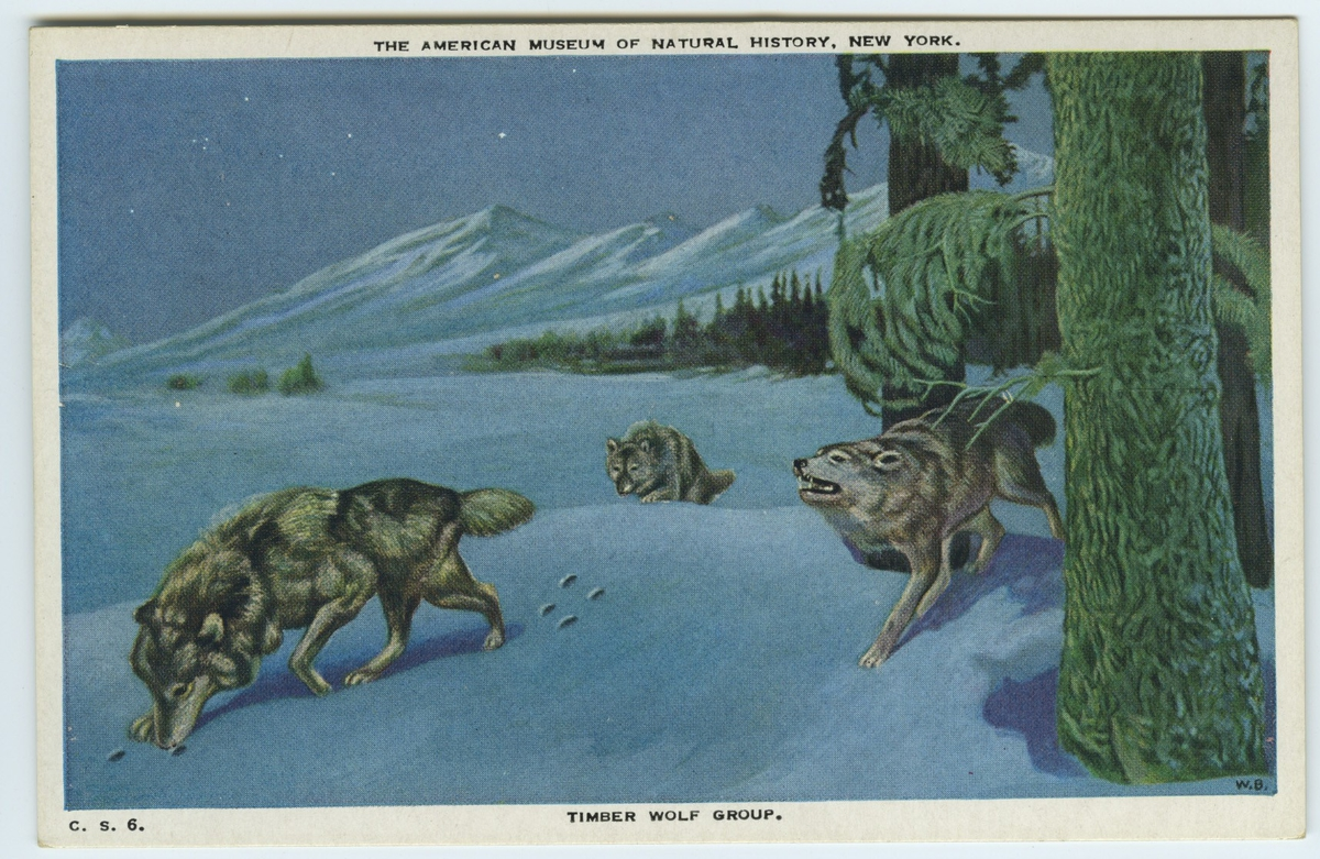 'Vy med 3 st vargar i närbild spårande i snön. Vinterlandskap. Text på baksidan: ''Timber wolf group. The wolves shown are of the species found throughout the west and northwest. They gather in small bands, usually five or six, to hunt and kill deer, elk, moose, rabbits, sheep and other animals.'' ::  :: Ingår i serie med fotonr. 2941-2954. Se även serie med fotonr. 2930-2940 med vykort delvis samma motiv, icke kolorerade.'