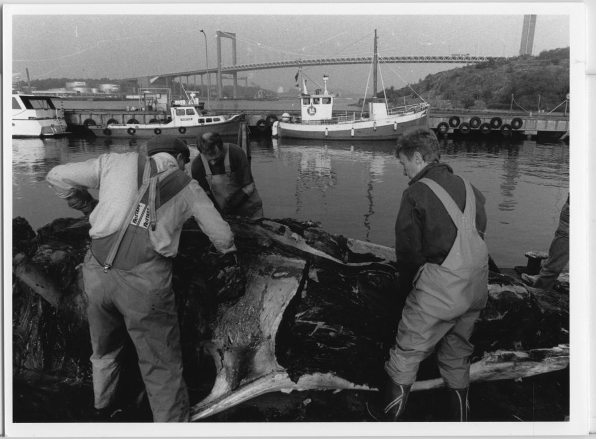 'Skelettering ::  :: Omhändertagandet av vikvalen, Nya Varvet. Flera personer från museet arbetar med valen: ::  :: Monica Silfverstolpe (till höger), Åke Melin (till vänster) samt Ulf Larsson arbetar med skeletteringen. I bakgrunden syns Älvsborgsbron. ::  :: Ingår i serie med fotonr. 6729:1-18.'