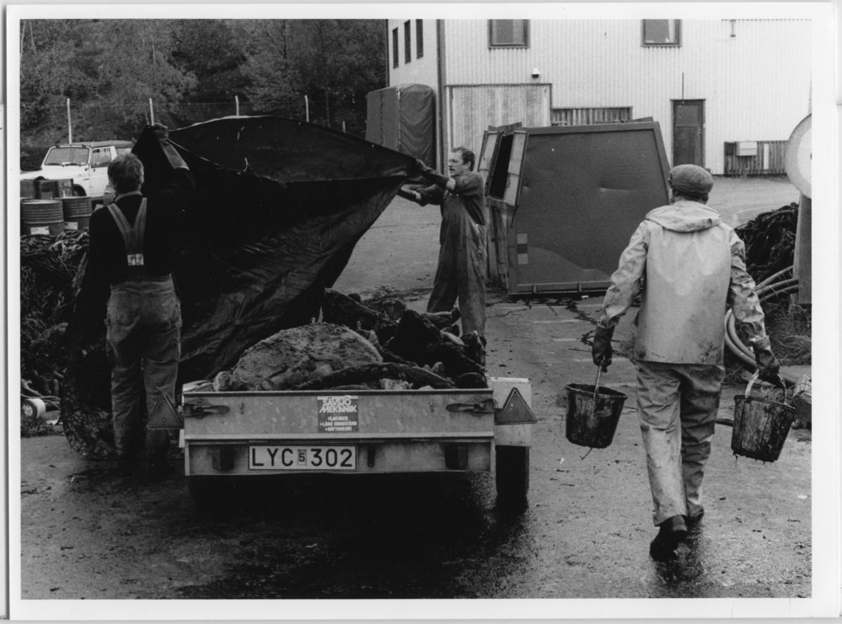 'Skelettering ::  :: Omhändertagandet av vikvalen, Nya Varvet. Flera personer från museet arbetar med valen: ::  :: Ulf Larsson (till höger) och Roland Gardtman med presenning vid släpkärra med vikvalen. Åke Melin, iklädd keps,  (ryggtavlan) med 2 hinkar. ::  :: Ingår i serie med fotonr. 6729:1-18.'