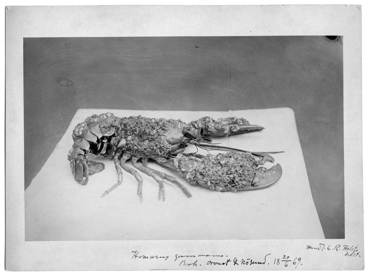 'Hummer med riklig påväxt av bl.a. havstulpaner. På bilden står text: ''Handl. G. R. Holst.'''