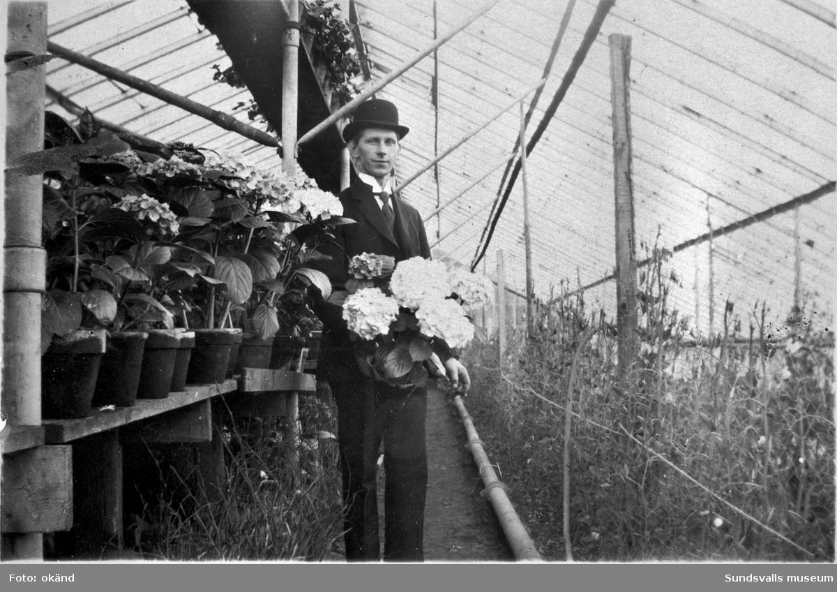 En svit bilder tagna innifrån växthusen på Klintens Handelsträdgård. 1898 köpte trädgårdsmästare Sven Edvard Andersson Vreten 10 med avsikt att utöka sin produktion av blommor och andra växter till butiken i Sundsvall. Företaget växte och 1924 bildas aktiebolaget Klintens handelsträdgård. Sven Edvard Andersson hade innan anställning som trädgårdsmästare hos disponenten J A Enhöring i Kubikenborg.