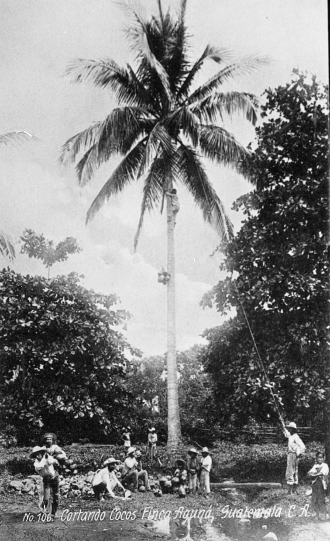Innhøsting av kokosnøtter, Guatemala