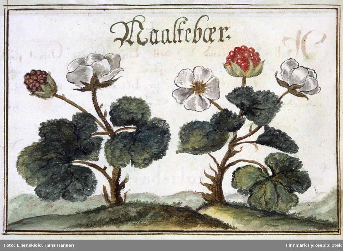 Maaltebær. Illustrasjon til beskrivelse av multebær
