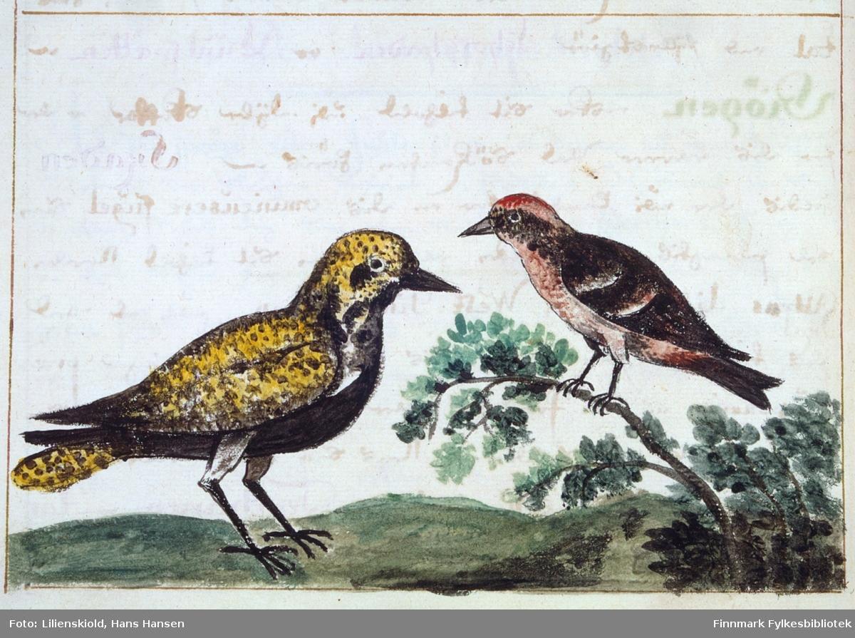 Illustrasjon til beskrivelse av fuglen Lilienskiold kaller heylom, dette kan ligne en heilo