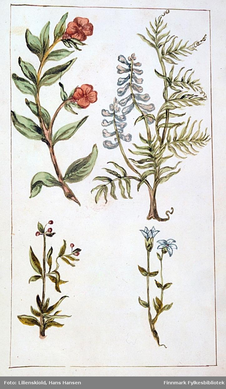 Plansje med flere planter. Plantene til venstre er ikke artsbestemte. Øverst til høyre fuglevikke, nederst til høyre snøsøte