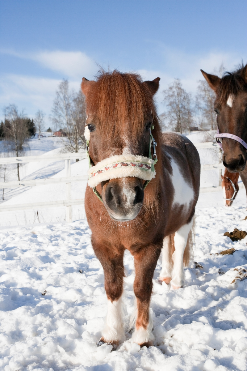 Ponni i snøen