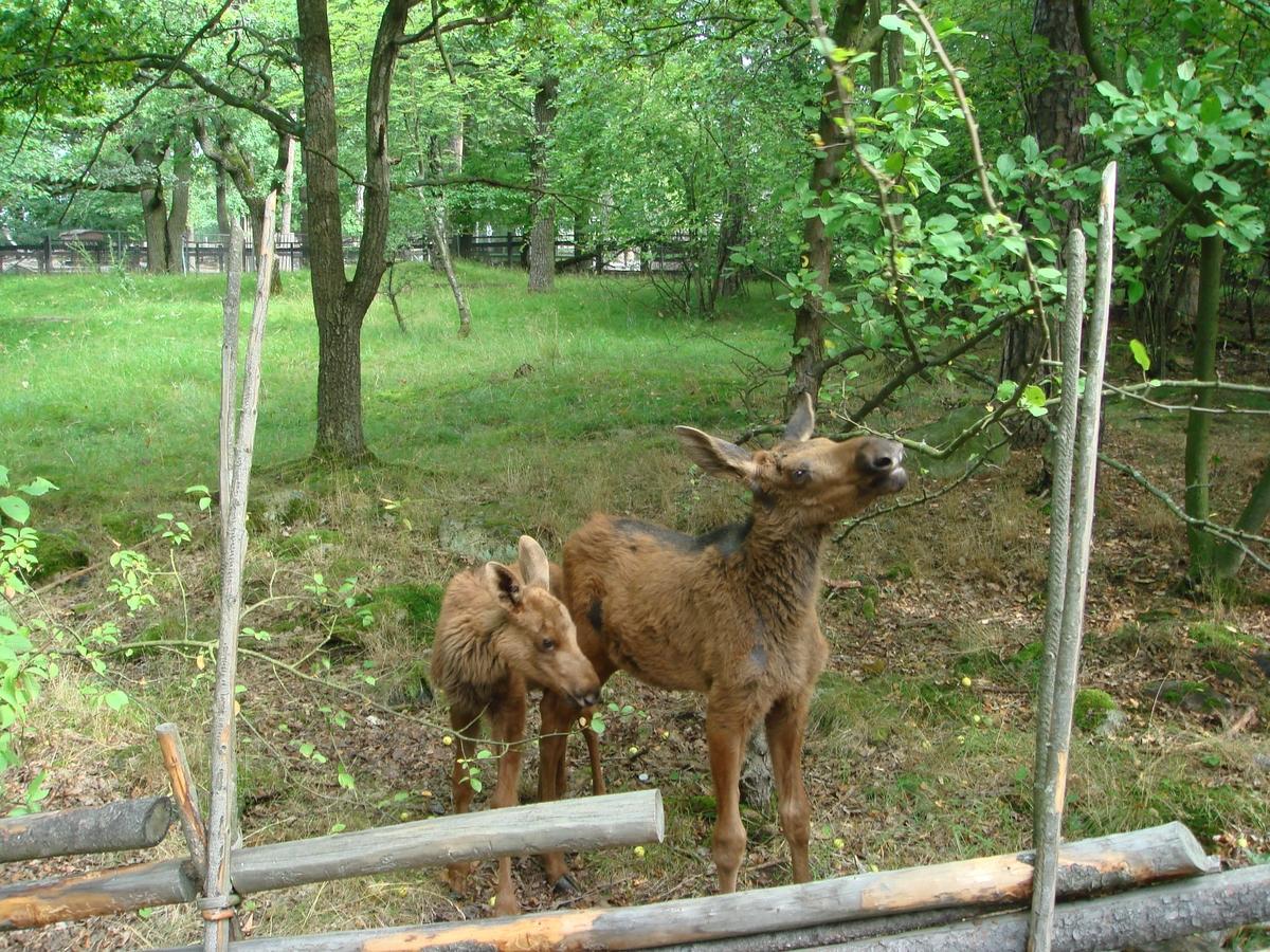 Två älgkalvar bakom en gärdsgård äter av vad naturen ger.