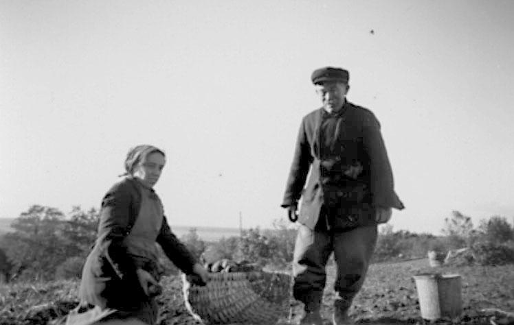 Häljesgården, Bolum. Potatisupptagning 1940-talet. Erik Gustavsson och dottern Elsa Eriksson.