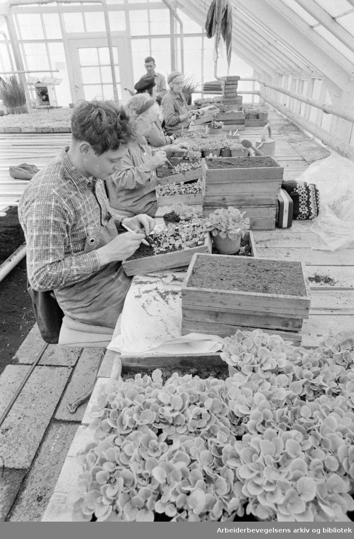 Sogn gartneri. Stikking av isbegoniar. Mars 1972