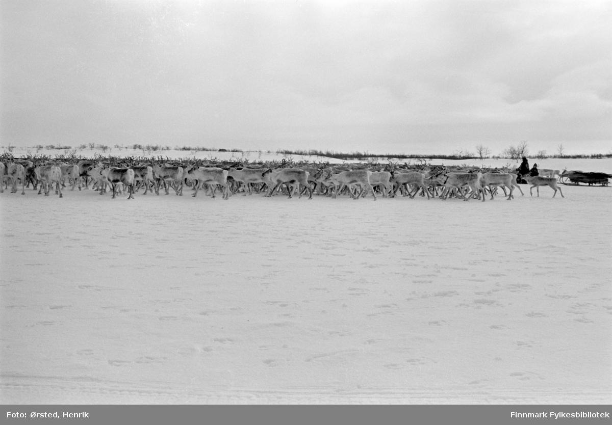 """Postfører Mathis Mathisen Buljo, bedre kjent som """"Post-Mathis"""" i samiske kretser, møter en reindriftssame i arbeid med reinflokken, langt ute på Finnmarksvidda. Her er reinflokken fotografert i bevegelse over vidda.   Fotograf Henrik Ørsteds bilder er tatt langs den 30 mil lange postruta som strakk seg fra Mieronjavre poståpneri til Náhpolsáiva, videre til Bavtajohka, innover til øvre Anárjohka nasjonalpark som grenser til Finland – og ruta dekket nærmere 30 reindriftsenheter. Ørsted fulgte «Post-Mathis», Mathis Mathisen Buljo som dekket et imponerende område med omtrent 30.000 dyr og reingjetere som stadig var ute i terrenget og i forflytning. Dette var landets lengste postrute og postlevering under krevende vær- og føreforhold var beregnet til 2 dager. Bildene gir et unikt innblikk i samisk reindriftskultur på 1970-tallet. Fotograf Henrik Ørsted har donert ca. 1800 negativer og lysbilder til Finnmark Fylkesbibliotek i 2010."""