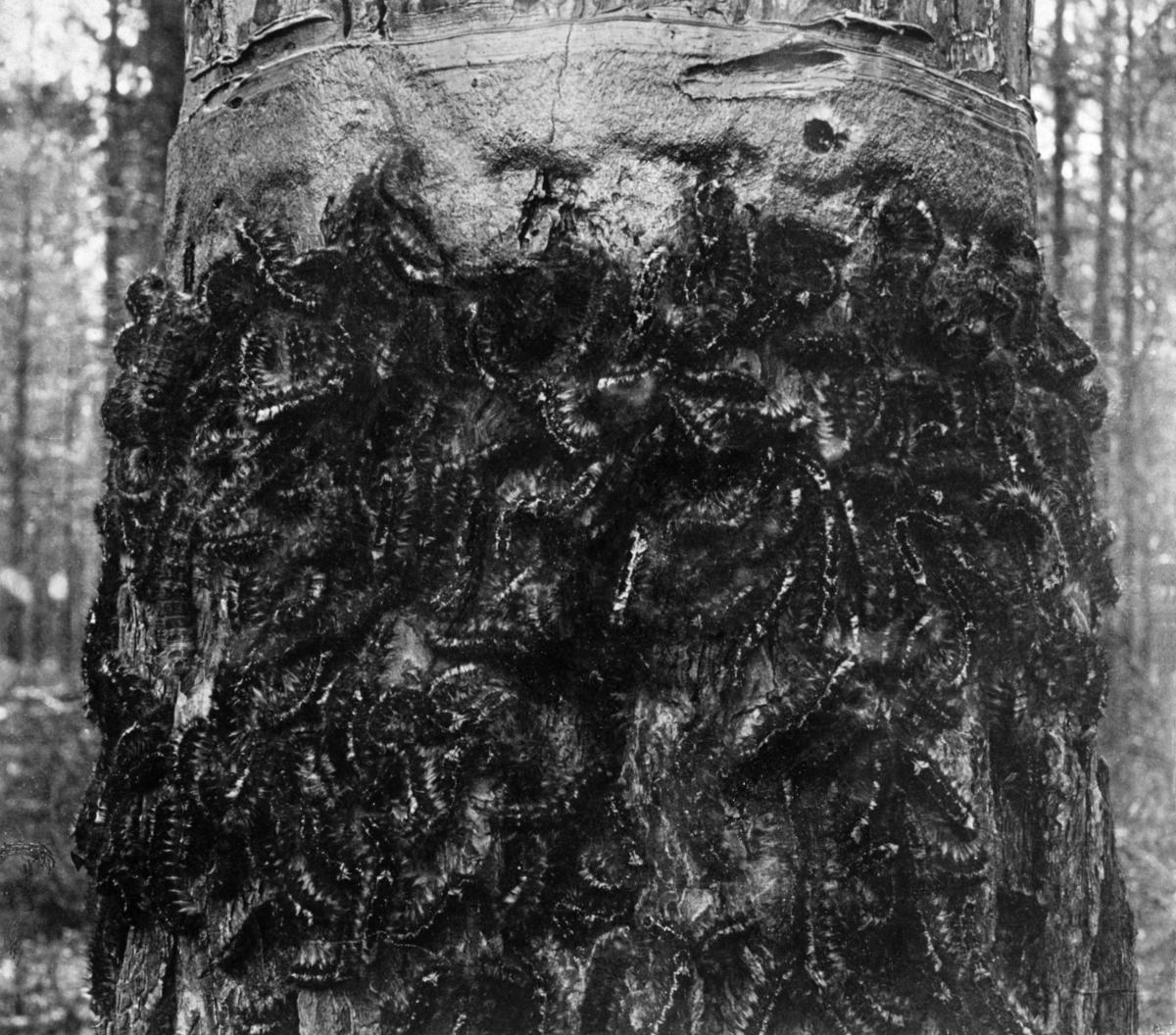 Furustamme som er angrepet av furuspinner (Dendrolimus pini). Fotografiet er tatt i Elverum i 1902-03, i forbindelse med furuspinnerangrepet disse åra.  Furuspinneren er ei nattsommerfugllarve, som har sitt tilhold på tørre sand- og grusmoer.  Sommerfuglen legger egg i barken på trærne. Om høsten, når kulda kommer, kryper larvene nedover stammen og overvintrer i mosedekket.  Om våren kryper de igjen oppover stammene og angriper nålene på trærne, og ved store oppblomstinger i bestandet kan de bli ribbet for bar.  For å forhindre slike skader ble det påstrøket klebrig lim i en ring rundt trestammene, der larvene ble stanset.  Fotografiet viser en delaj fra en furustamme der larvenes vandring er stanset under «limringen».
