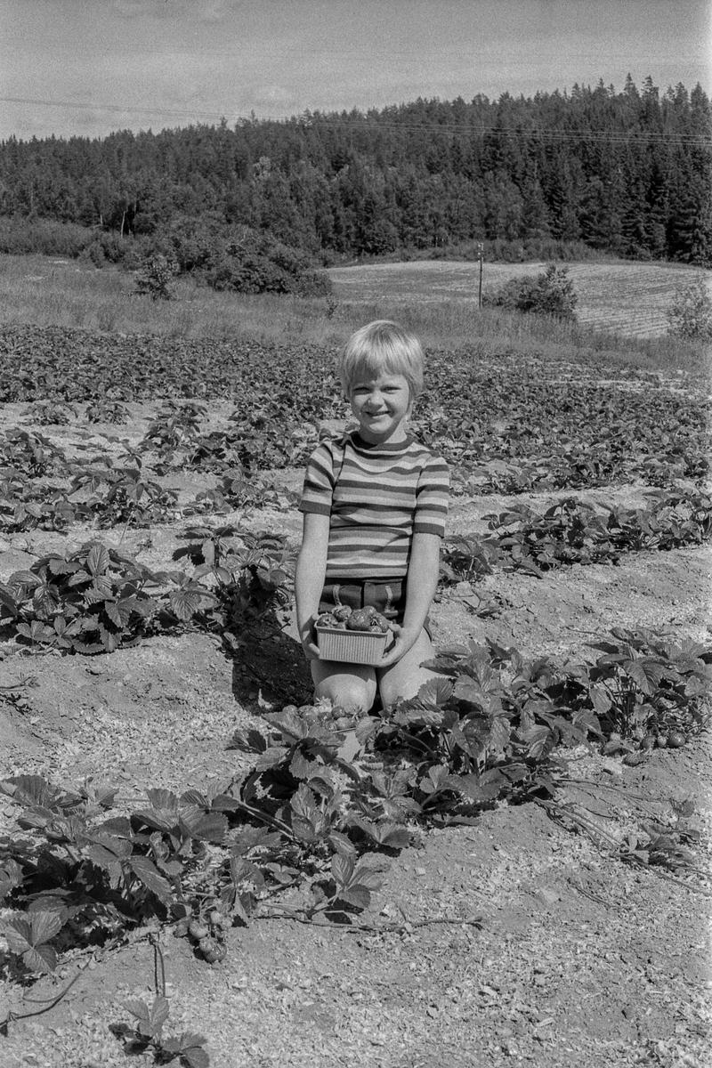 Lars Frukt og Grønnsaker i Ski. Jordbær hos Lars på jordet og i forretningen