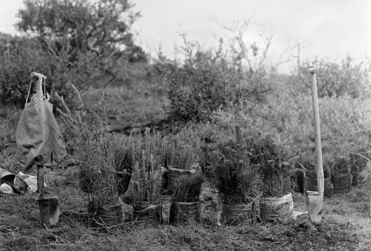 Planteredskap og plantemateriale som ble brukt av norske deltakere i det norsk-islandske utvekslingsprosjektet for skogplantere sommeren 1982.  Dette bildet er tatt ved Laugarvatn på Sør-Island, der 23 av de 60 norske deltakerne arbeidet.  I forgrunnen ser vi fem bunter med torvbandplanter, oppstilt på rekke mellom to plantespader med buete blader.  Det ble plantet lerk (Larix sibirica), contortafuru (Pinus contorta, på norsk «vrifuru») og sitkagran (Picea sitchensis).  Ettersom Island ikke har hatt stedegen barskog, bare bjørk (Betrula pubescens) og litt rogn (Sorbus aucuparia), var det utenlandske treslag islendingene satset på da de startet arbeidet med å reise skog.  I 1970-åra ble det opplyst at mer enn 30 bartrearter hadde vært testet med vekslende hell.  Lerk, contortafuru og sitkagran hadde vist seg å tåle det islandske klimaet godt.  På plantefeltet ved Laugarvatn var det knapt stein i bakken, så arbeidet gikk lett, og de norske deltakerne plantet cirka 25 000 torvbandplanter i løpet av to arbeidsuker.  For islendingene har skogreising vært et viktig arbeid, særlig med sikte på å begrense jorderosjonen, som anses for å være et av landets største miljøproblem.  De plantete barskogene skulle også gjøre Island mer sjølhjulpent når det gjelder bygningsmaterialer, de skulle heve levestandarden og gjøre landet vakrere.