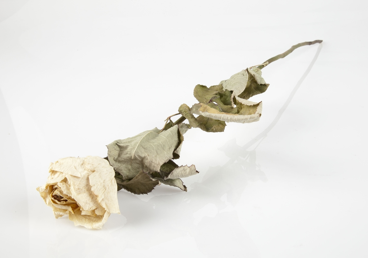 Rose innsamlet etter terrorhandlingen 22. juli 2011 fra minnesmarkeringene i Lillestrøm.   Dette er en kraftig hvit rose hvor blomsten har gulnet. Stilken er uten torner. Bladverket er ganske godt bevart når det gjelder farger.