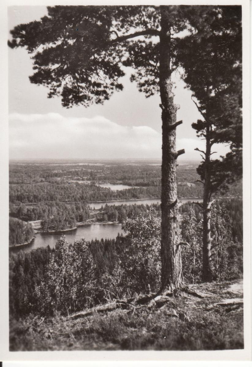 Dalsland. Utsikt över sjöar, berg och skog med två tallar i förgrunden på höger sida.