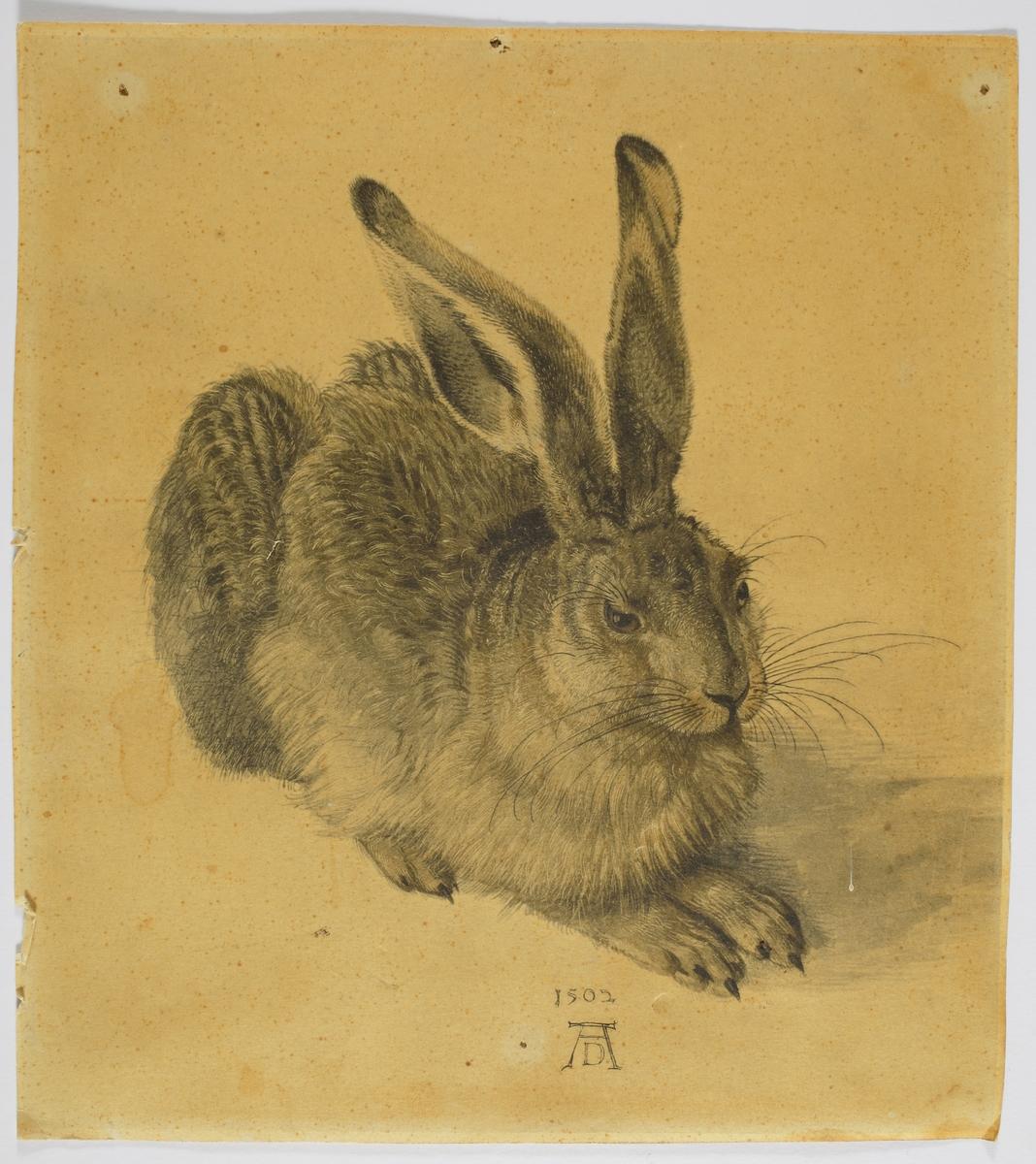 En vilande hare.