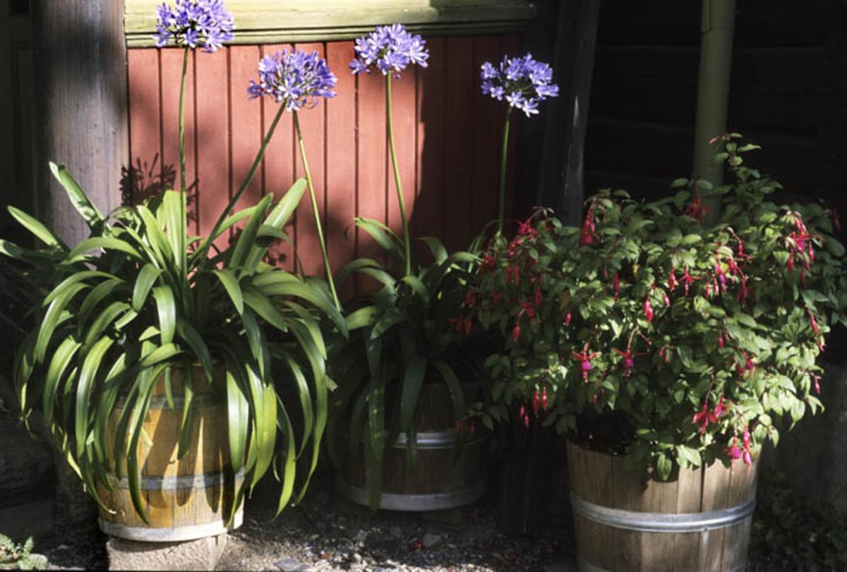 Agaphantus og fuchsia blomster i blomsrepotter foran husvegen.
