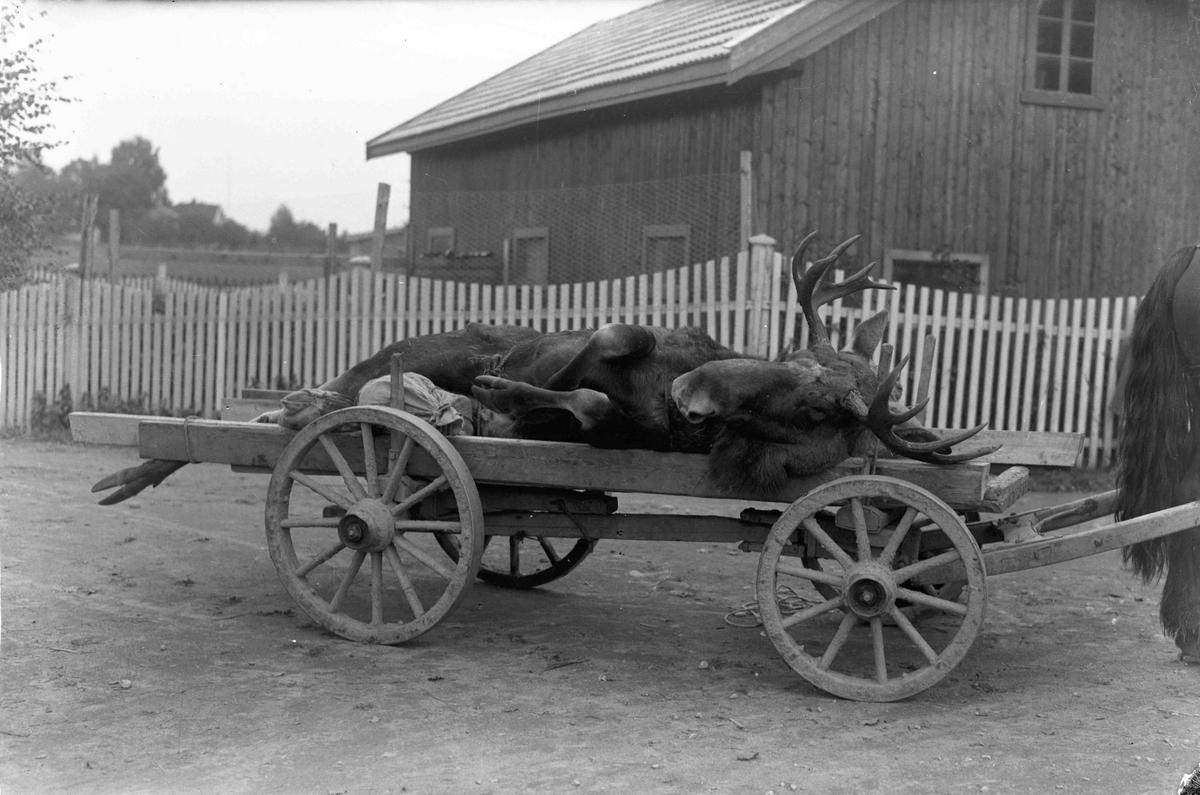 Elgjakt. Elg som ligger på vogn trukket av hest.