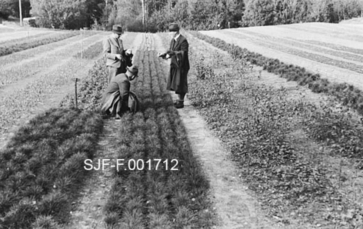 """Fotografi fra befaringsreise til Stockholm revirs planteskole i 1945.  Fotografiet er tatt langsetter ei såseng der det står fem rader med toårige furuplanter.  Tre skogfunksjonærer, en på huk ved plantesenga, og to stående på hver sin side, diskuterer plantematerialet.  Mennene er kledd i dresser, har hatter på hodet og frakker over armen.   Fotografiet er hentet fra et kartotek som ble samlet av Waldemar Opsahl, som var statskonsulent for skogkultursektoren fra 1936 til sin død i 1954.  Arkivet ble overlatt til Norsk Skogbruksmuseum i Tore Fossums bestyrertid.  Opsahl har antakelig tatt de fleste av bildene i arkivet.  Materialet består av pappkort med opplimte kopier av svart-hvitt-fotografier.  Kortet med dette fotografiet på er merket """"A. K. 73"""".  Under bildet er det påklistret en liten kvit papirstrimmel med påskriften:  """"2/0 tall från utvalda moderträd å Sjuanda kronopark.  Avkommen som synes pa den omdiskuterade sängen utgöres av 2/0 tall av medelstora frö.  Längst bort 2/0 tall av små frö.  Ovanlig jämn sådd.  Dessa plantor komma sorteras nästkommande vår.  Till höger å bilden 1/0 bjørk.  Avkomman av små frö äro nogot mindre än avkomman från medelstora frö.  Det mindre fröet ger dock upphav till en del typiska plussvarianter.   Enander.   Stockholms revirs planteskole 1945.  fot. W. O. """""""