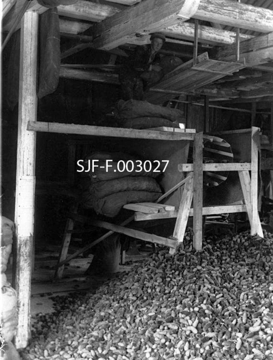 """Fra provisorisk klengingsanlegg for skogfrøproduksjon ved sagbruket på Østerå i Tvedestrand i Aust-Agder.  Fotografiet er tatt i saghuset.  Der var det reist et slags stillas hvor kongler som hadde vært tørket i sekker ble tromlet slik at en fikk skilt unna frøet.  Øverst, oppunder taket, ser vi en mann som sto på en platting og tømte konglesekker på et skråplan, som ledet mot overenden av en skråttliggende nettingtrommel.  En annen kar (som vi ikke ser på dette bildet, men på SJF-F. 003024 – SJF-F. 003026) sto på en platting ved den høyestliggende enden av trommelen og dreide på ei sveiv som fikk trommelen til å rotere.  Lekter inni den nettingbetrukne trommelen fikk konglene til å hoppe og sprette, slik at gjenværende frø falt ut mellom de sprikende kongleskjellene og ned mot et underliggende skråplan.  På dette fotografiet ser vi enden av trommelen, der tomkonglene falt ned i en diger haug på golvet. Under stillaset, og en platting der det lå en liten stabel av konglesekker, skimter vi en oppsamlingssekk for frø som hadde falt gjennom trommelnettingen ned på et underliggende skråplan, der tyngdekraften førte det mot sekken. Mellom trommelen og skråplanet var det oppspent en """"strievegg"""", antakelig for å forebygge at det lette frøet falt ved siden av skråplanet.    1935 var et dårlig frøår for gran, men et uvanlig godt frøår for furu på Sørlandet.  Skogfunksjonærene og Skogselskapets tillitsmenn i Aust-Agder mobiliserte til sankning med den følge at det kom inn hele 514 hektoliter med furukongler.  For å holde ulike provenienser fra hverandre ble konglene fra kystskogen (under 200 meter over havet) samlet i grønne sekker, mens innlandskonglene (200-400 meter over havet) kom i røde sekker og konglene fra fjellskogen i gule sekker.  Ettersom klenganlegget til Mons Klingenberg Fuhr ved Grimstad gartneri, som hadde vært brukt i 1920-åra, ikke lenger var i operativ stand, ble konglene sendt til sagbruket på Østerå ved Tvedestrand, der trelasttørka ble brukt som klengrom"""